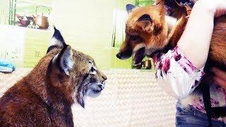 РЕАКЦИЯ РЫСИ НА ЛИСУ / Тренинг дикой кошки