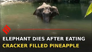 Pregnant elephant dies allegedly after eating pineapple filled with crackers