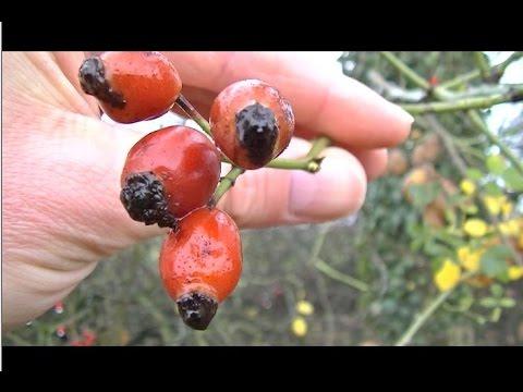 Le poil gratter cynorrhodon un bonheur pour votre - Poil a gratter plante ...