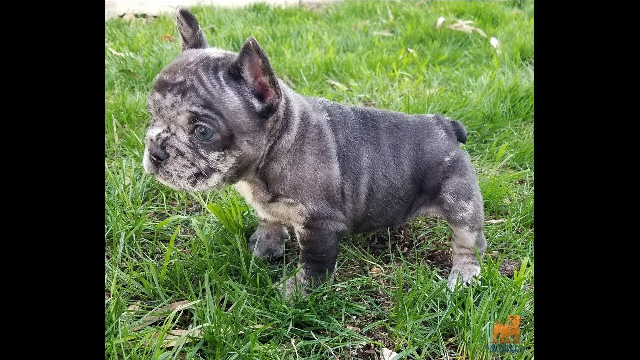 french bulldog girl / black merle triple carrier chocolate / blue and at /  6 weeks old