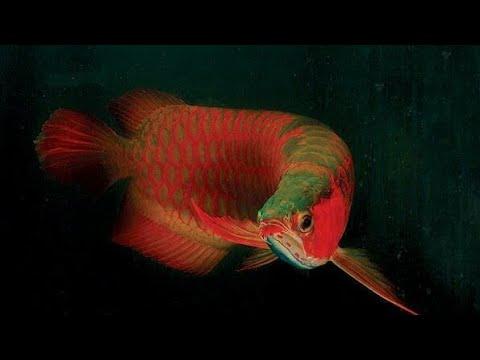 Top 10 arowana Fish