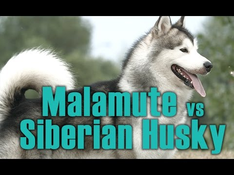 Malamute Vs Siberian Husky English Siberian Husky Academy Youtube