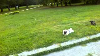 Pug And Yorkshire Terrier Playing