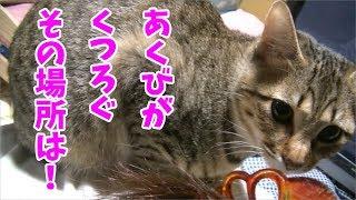 【所かまわずくつろぐ猫】あくびちゃんそんなところでくつろぐの!A cat on the shoulder?w thumbnail