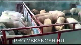 видео Ангар-свинарник. Арочные конструкции для содержания свиней