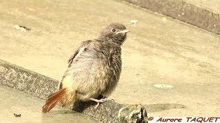 Rougequeue noir juvénile -  Black Redstart - (Phoenicurus ochruros) -  Aurore Faune de France