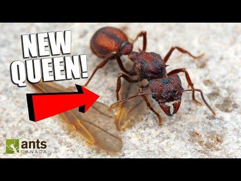Looking For Queen Ants