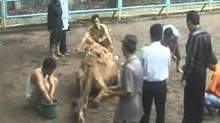 Lion escapes from cage and kills camel
