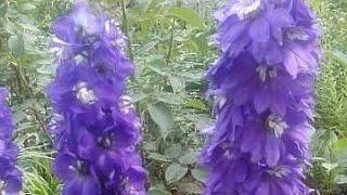 ПОСАДКА ДЕЛЬФИНИУМА НОВОЗЕЛАНДСКОГО МНОГОЛЕТНЕГО, ВЫРАЩЕННОГО ИЗ СЕМЯН(Необыкновенный цветок Новозеландский Дельфиниум - настоящее украшение любого сада. И размножается очень..., 2015-10-05T04:00:00.000Z)