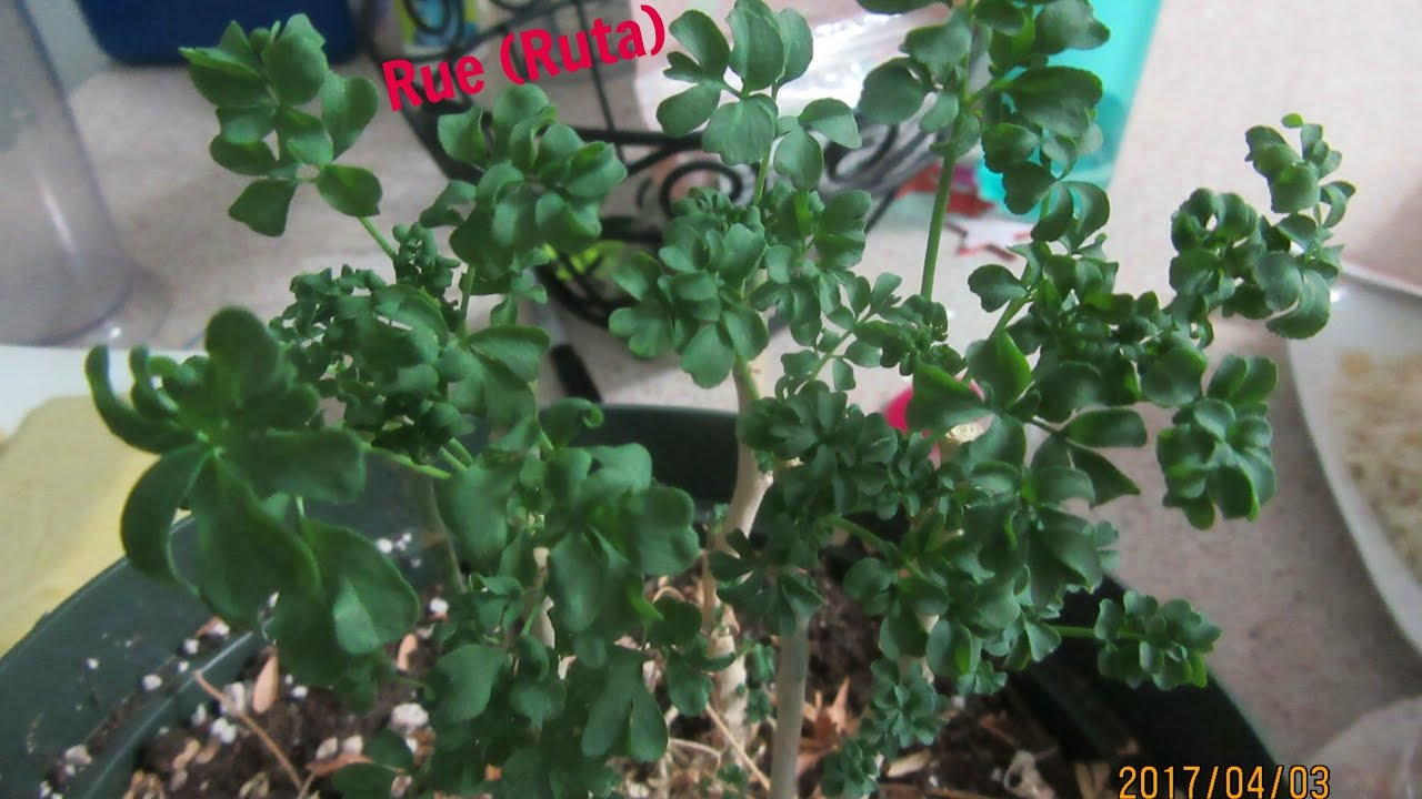 Rue Plant Ruta Youtube