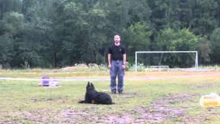 Березники, соревнования по ОКД, взрослые собаки. 11.08.13 г. Ризеншнауцер, 2 место