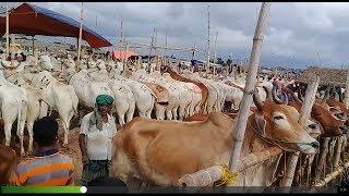 39 | Gorur Haat | Very Big big cow | Eid ul-Adha | big big bull Bangladesh
