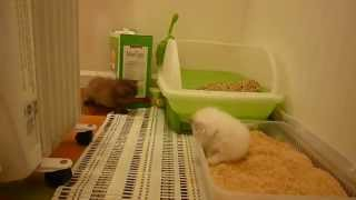 4 Week Old Kitty Litter Box Training 101 - Part 2 - Victorian Gardens Cattery