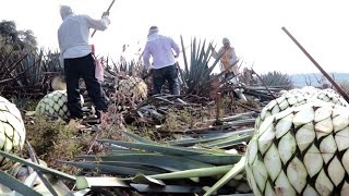 Discover the Making of Mexican Agave Sugar (Video)