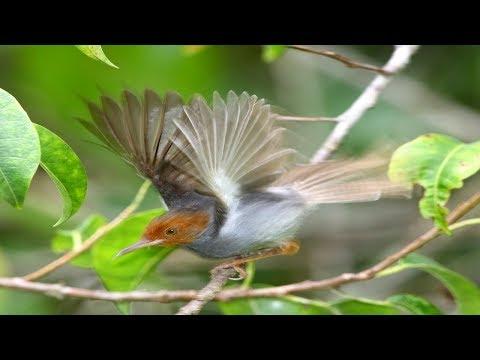 Download Lagu Suara pikat burung prenjak gacor untuk memanggil prenjak liar