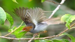 Suara pikat burung prenjak gacor untuk memanggil prenjak liar