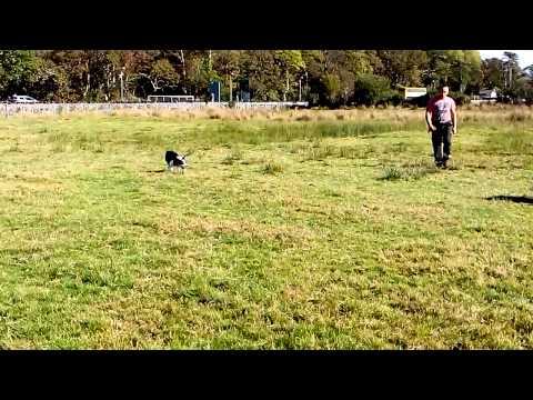 D Edwards sheepdogs jess