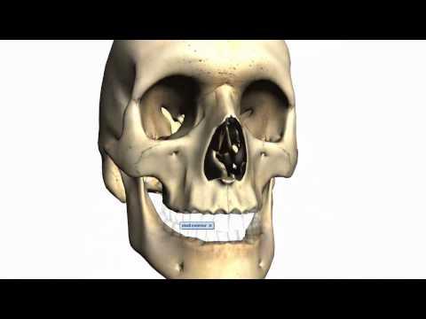Skull tutorial (2) - Bones of the facial skeleton - Anatomy Tutorial PART 2