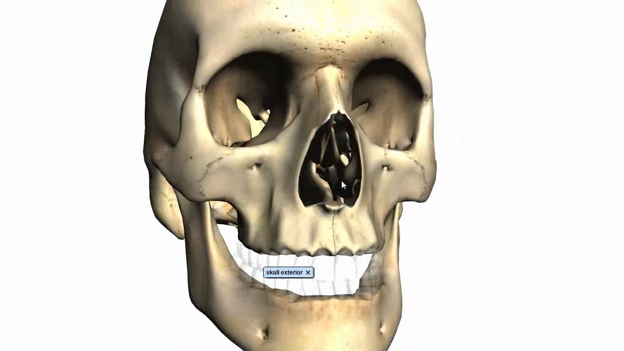 Skull Tutorial 2 Bones Of The Facial Skeleton Anatomy Tutorial