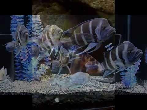 African Cichlids Forum - African Cichlid Fish ID