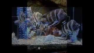 African Cichlids Forum - African Cichlid Fish ID.