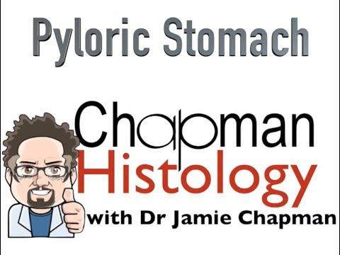 3 Min Histology - Pyloric Stomach