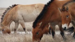 Лошадь Пржевальского | редкие и исчезающие виды животных России
