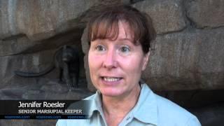 San Diego Zoo Helps Endangered Tasmanian Devils