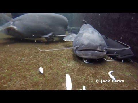 Wels Catfish & Koi Underwater (Pond)