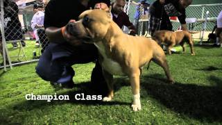 AMERICAN BULLY SHOW - LIGHTS OUT BULLY FEST