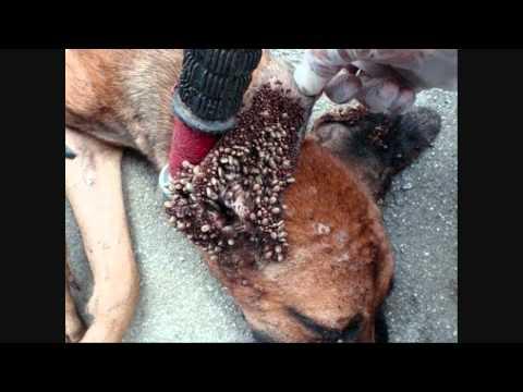 Solucion final eliminar pulgas y garrapatas mascotas in - Acabar con las pulgas en casa ...