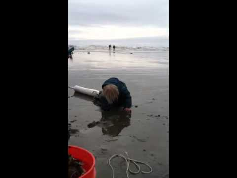 How to dig a razor clam with a clam gun