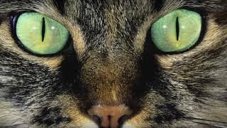 Почему кошке нельзя смотреть в глаза?