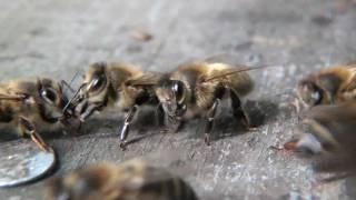 Abeilles. Echange de nectar entre abeilles