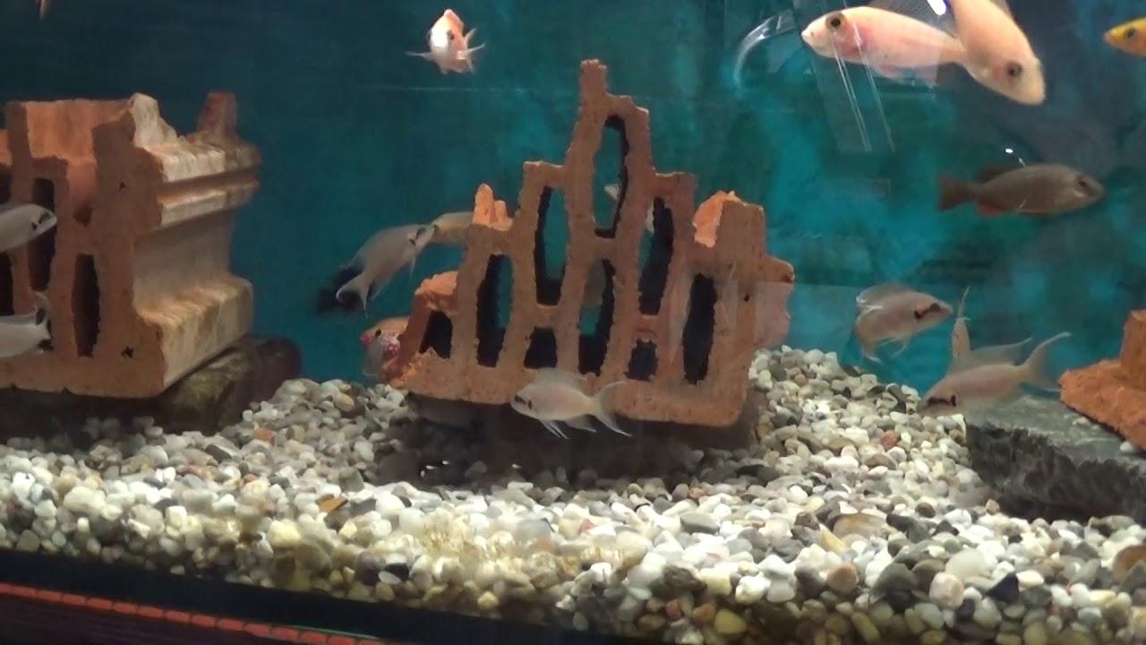 Аквариумные рыбки.Часть 93.Принцесса Бурунди.