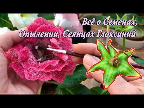 Сеянцы, Семена, Опыление Глоксиний