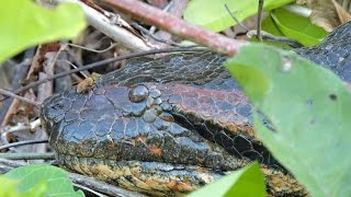Green Anaconda along Rewa River, Guyana