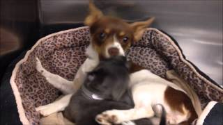 Chihuahua | Stray Mother and Daughter Chihuahua Playing Around | Animals From The Shelter