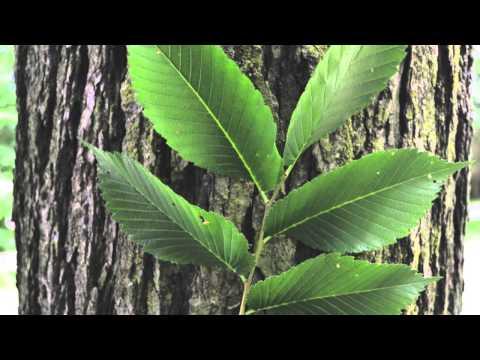 American Elm Tree For Sale Online $1.80