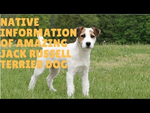 Native Information Of Amazing Jack Russell Terrier Dog