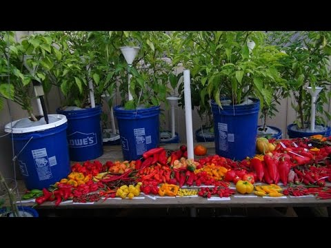 ➪ first harvest from 3 yr bell an habanero plants an some ranting