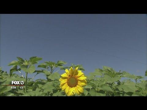 Sweetfields Farm sunflower maze