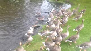 1 swan vs 40 geese, when swans attack!