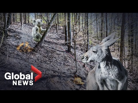 After Australia's wildfires: What happens when 1 billion animals die?