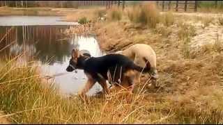 Spanish Mastiff Annie And German Shepherd Masza
