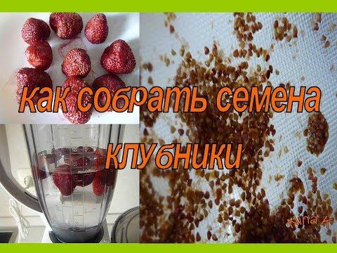 Как отделить семена клубники от ягод видео