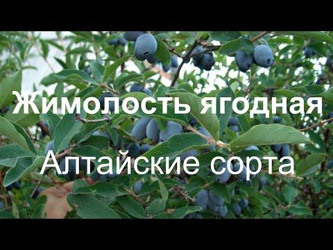 ЖИМОЛОСТЬ.Вкусная и полезная ягода.Как вырастить жимолость.