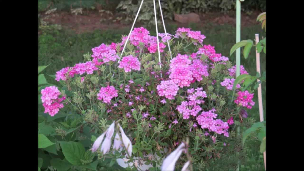 My Lovely Hanging Verbena Flowering Basket Plants 🎆 Youtube