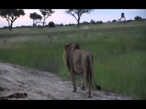 CECIL the iconic lion of Hwange National Park