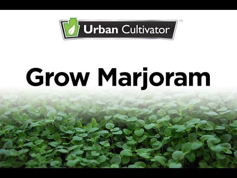 How To Grow Marjoram Indoors | Urban Cultivator
